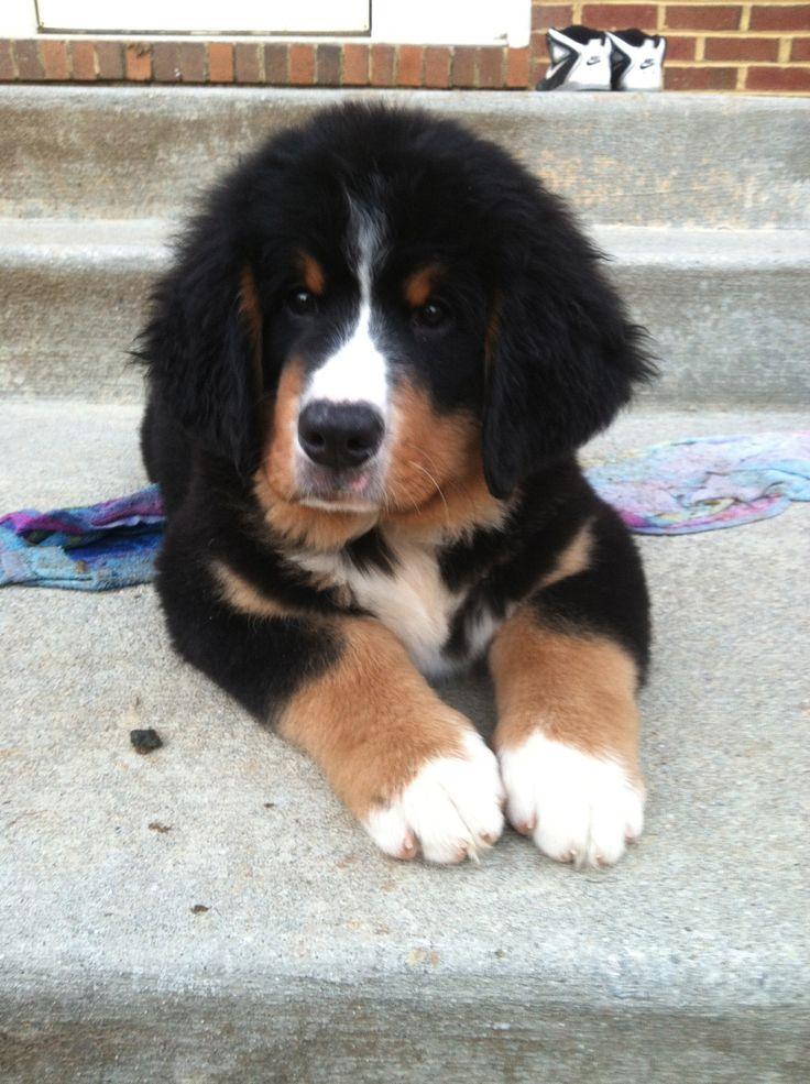 Bernese Mountain Dog puppy! Tug Boat !
