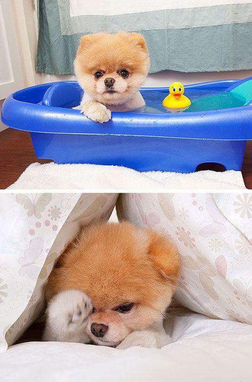 boo : the worlds cutest dog (via dog milk) Ali wants one.  I said ok.  It's a GUND!  Ho! Ho! Ho!