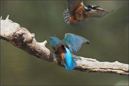 coppia di martin pescatore-pair of kingfisher