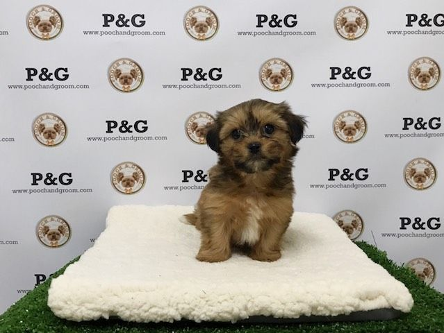 Shorkie Tzu puppy for sale in TEMPLE CITY, CA. ADN-26456 on PuppyFinder.com Gender: Male. Age: 7 Weeks Old