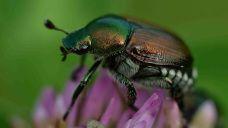 Géranium - scarabée japonais - jardinier paresseux