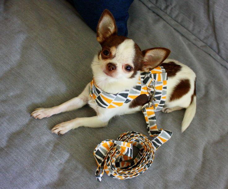 Designer dog leash and harness set #chihuahua #chihuahualovers #dog #smalldog #funnydog #puppy #puppylovers #cuteanimals #dogclothes #chihuahuaclothes #chihuahuasweater #dogsweater