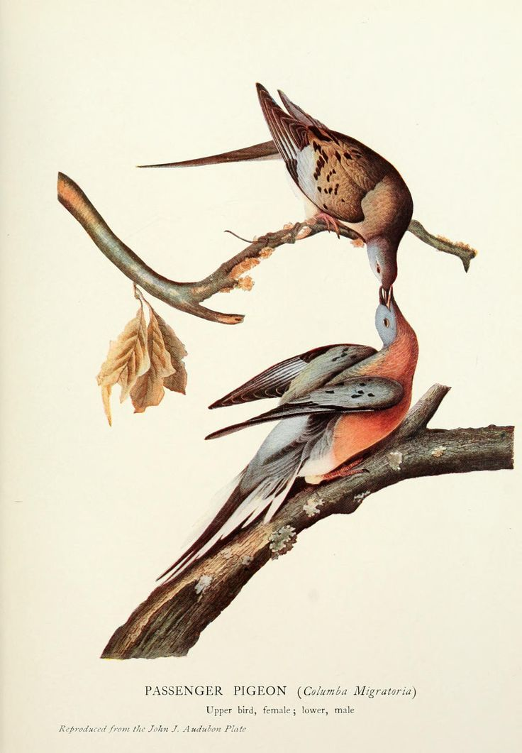 The Passenger Pigeon from The Birds of America