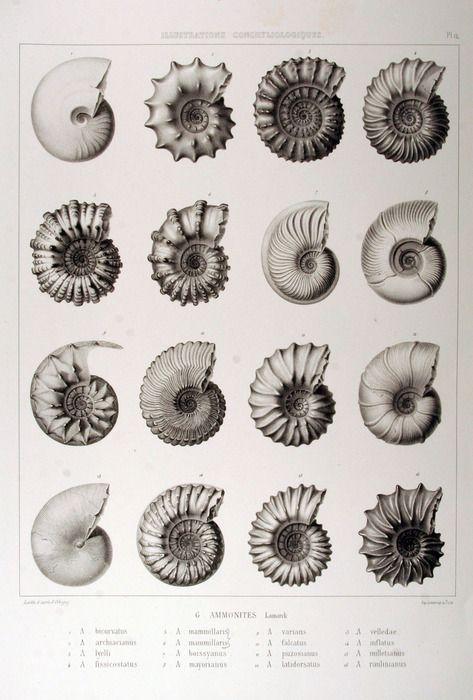 Prehistoric Ammonites