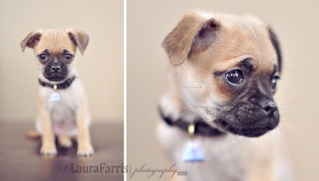Chug! Pug & Chihuahua mix too cute! This is now one of three dogs I want :)