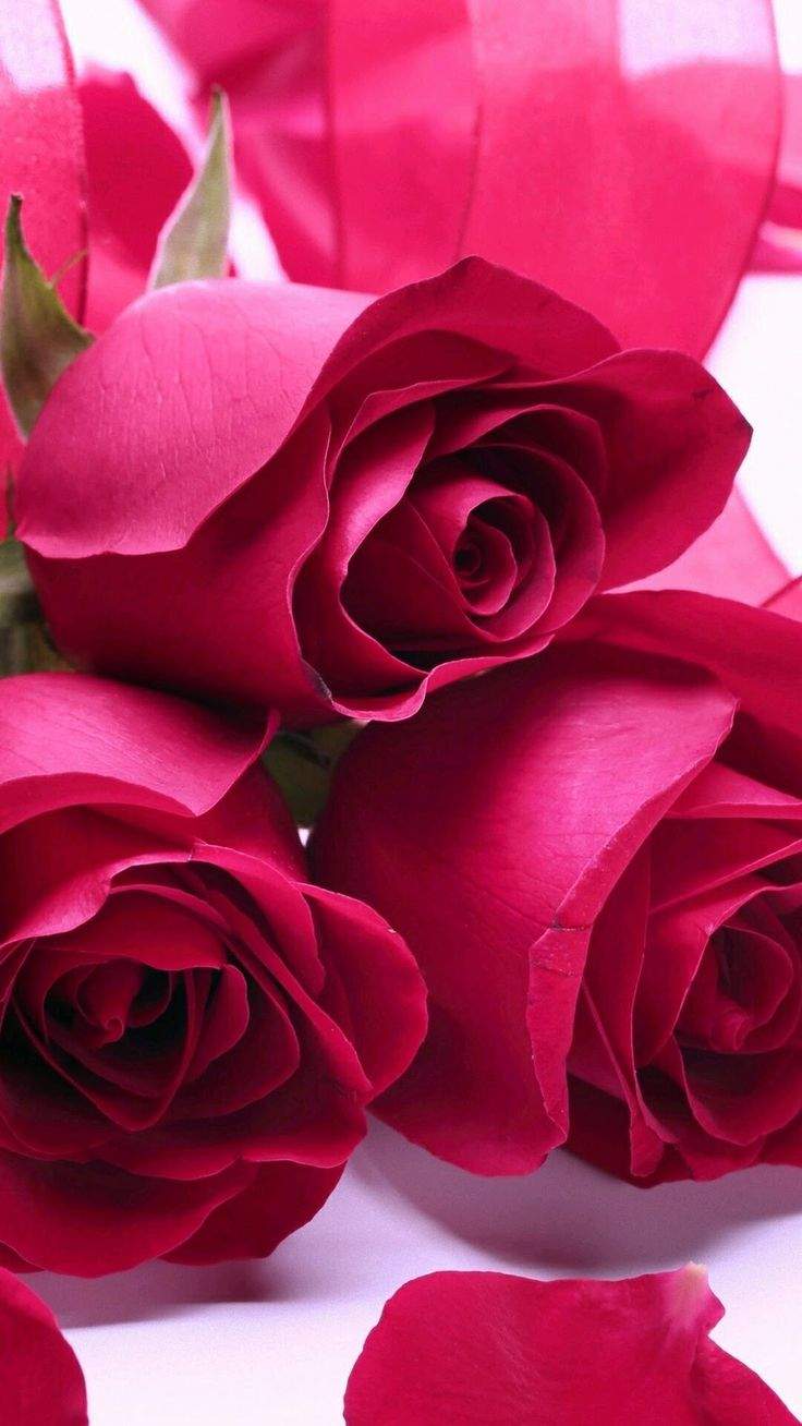 Beautiful roses... Love is a beautiful thing with the Mr. Right and Mrs. Right who sent to you by God. Wait on his timing in marriage (love) and all things.