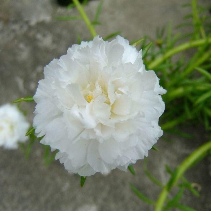 0.49$  Buy here - 300 Pcs White Portulaca Seed Flower Balcony Garden Potted Bonsai Plants Flower Purslane Seeds Scutellaria Barbata Seed   #magazineonline