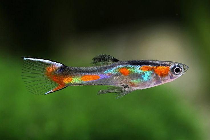 exotic fish o1 fancy guppies pet stuff xyz exotic aquatic pets age ...