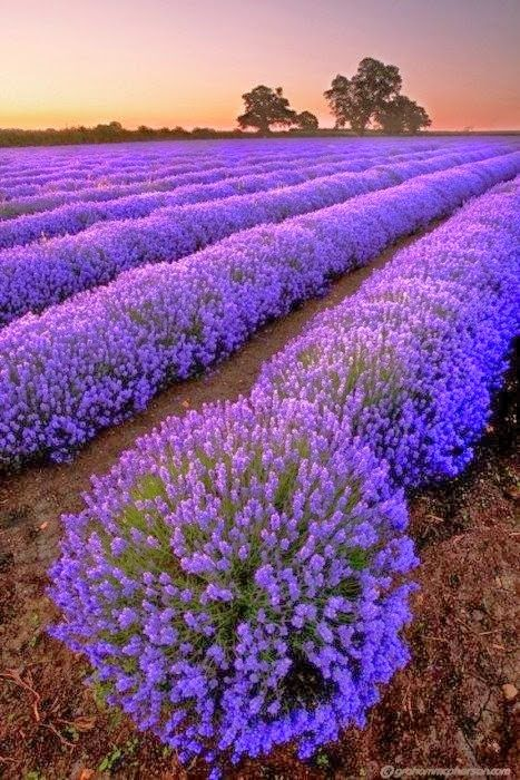 5.Lavender Fields, France Lavender Fields, France
