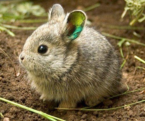 The Columbia Basin Pygmy Rabbit. ADORABLE