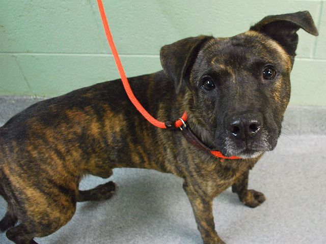 BUDDHA - A1067629 - - Manhattan  Please Share:   TO BE DESTROYED 03/20/16 **BOTH BUDDAH AND HIS HOUSEMATE RHUBARB ARE ON LIST TONIGHT! BUDDAH NEEDS A NEW HOPE RESCUE TO PULL** Buddah is a handsome seven year old brindle Staffie mix who needs lots of support. Being a senior has some challenges, for seven years Buddah had the security of a home and being surrendered to the ACC of NYC is scary. On Tuesday Buddah and his housemate, six year old Rhubarb were surrendered due to p