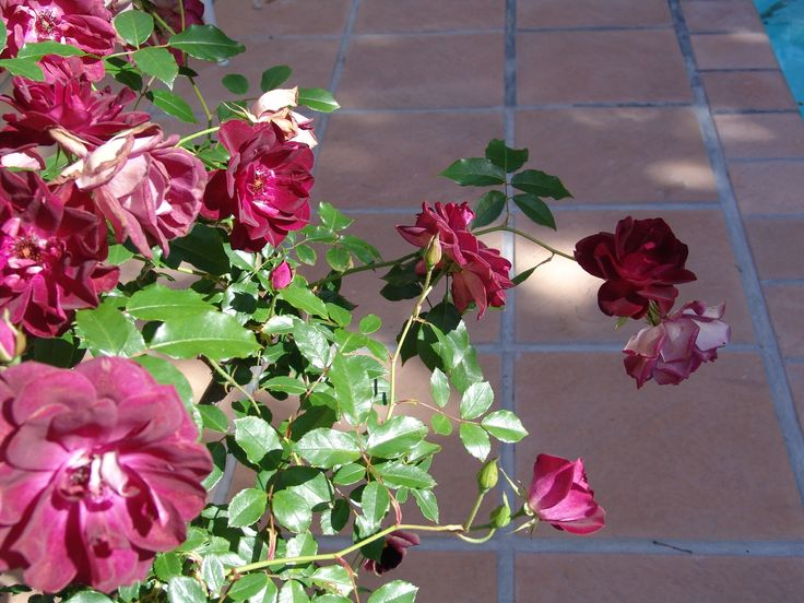 Roses over Eden Pavers