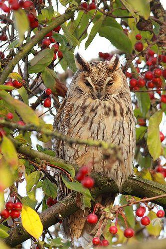 Amazing wildlife -  Long-eared Owl photo #owls