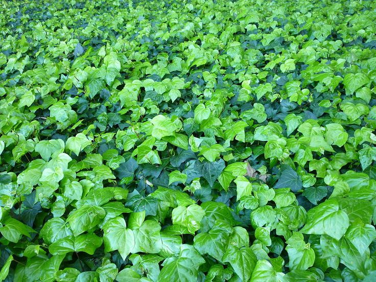 Ivy in Hyde Park - Hedera helix - Wikipedia