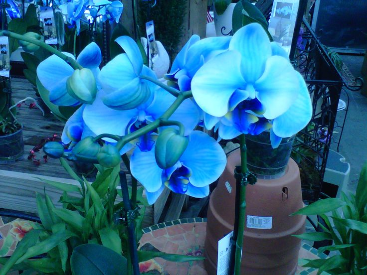 Blue Orchid Plants for Sale | Indigo Mystique Orchid Joins Blue Mystique – Today's Garden Center