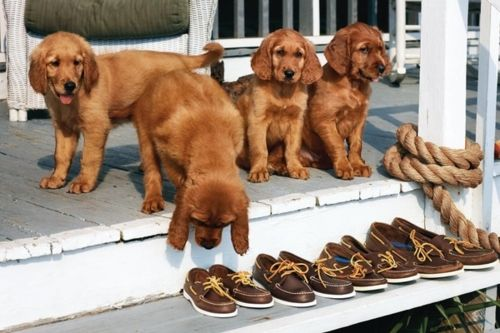 #tuckernucking: Sperry, Boats Shoes, Cutest Dogs, Boat Shoes, Puppys, Men Shoes, Dreams Life, Animal, Golden Retriever Puppies