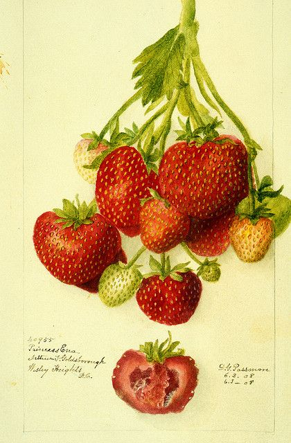 """""""Princess Ena strawberry"""" - Watercolor by D.G. Passmore - late 19th/early 20th century"""