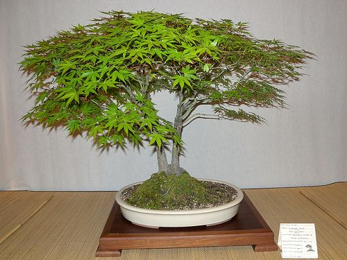 Japanese Maple Bonsai - The Best Bonsai Tree