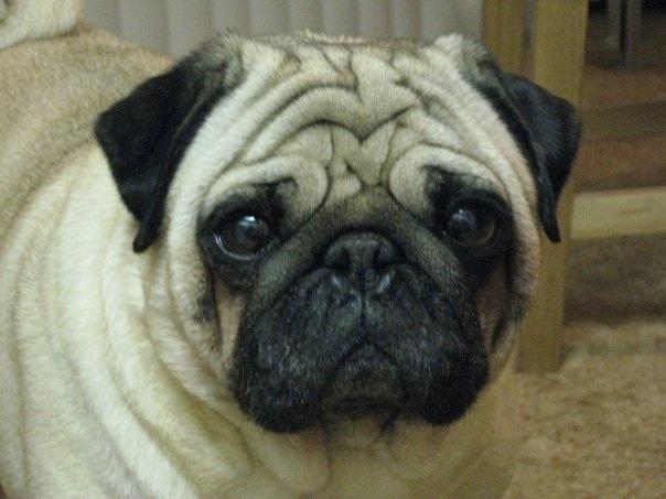 Goofi <3 #Pugs
