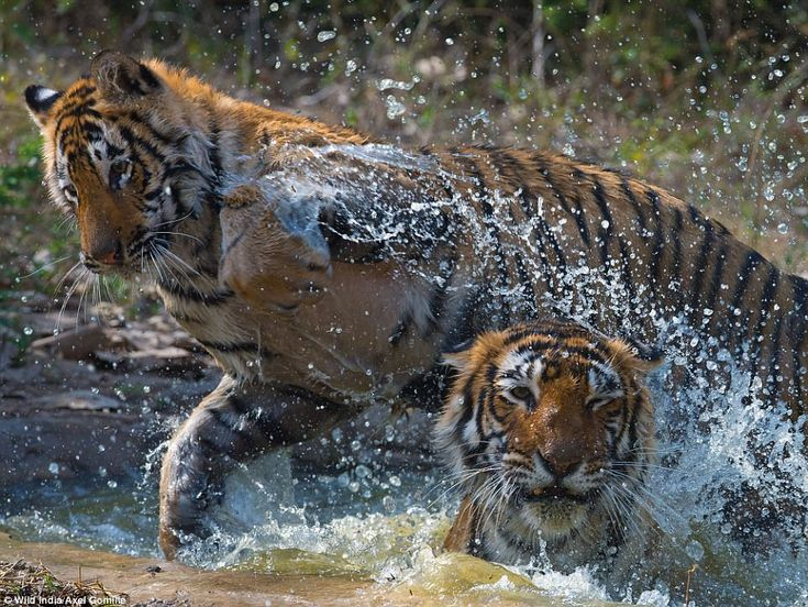 Water can be in short supply in many parts of Ranthambhore. The forest department therefor...