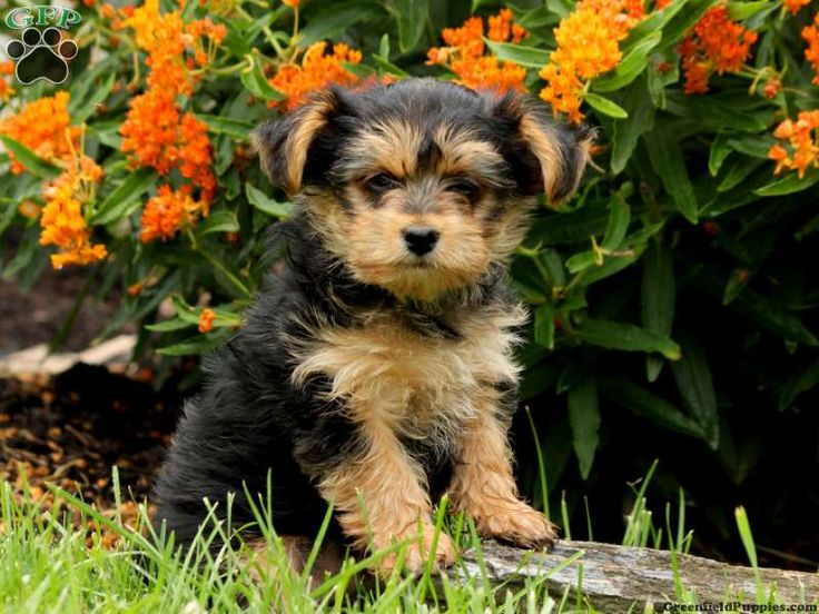 yorkie mix for sale 1000 images about yorkie mix puppies for sale on pinterest 6347