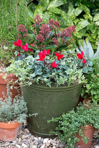 Red and green winter container with Skimmia japonica 'Rubella' Red Cyclamen and trailing Hedera - © GAP Photos