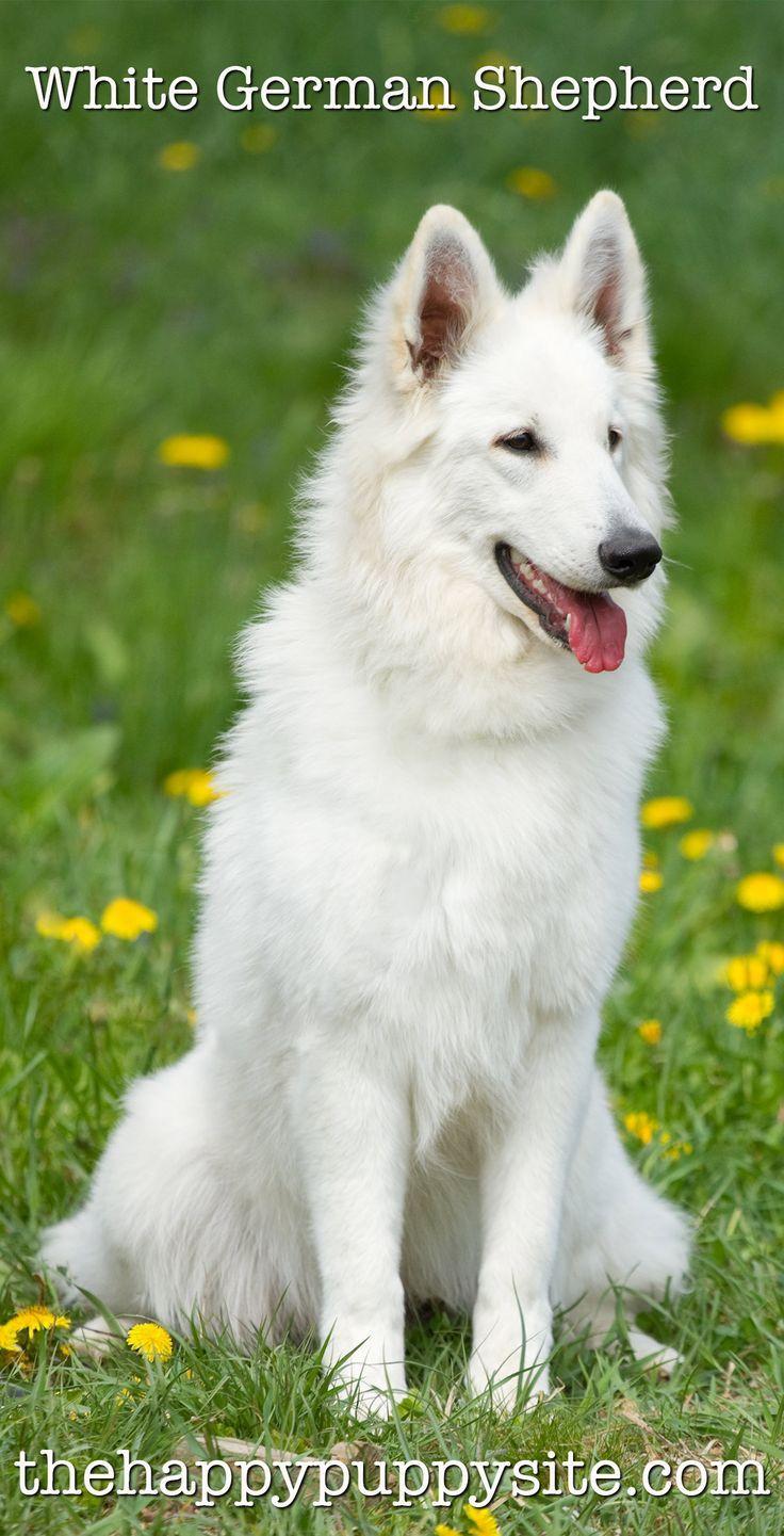 White German Shepherd Puppies Chloe the White Fluffy