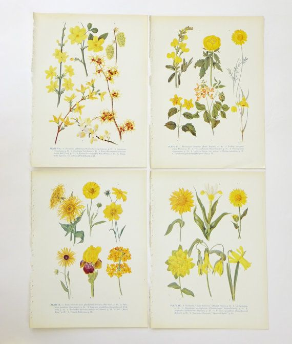 Yellow flowers, 4 Botanical Illustrations, Sunshine Flower Pictures Set, Unframed Pictures