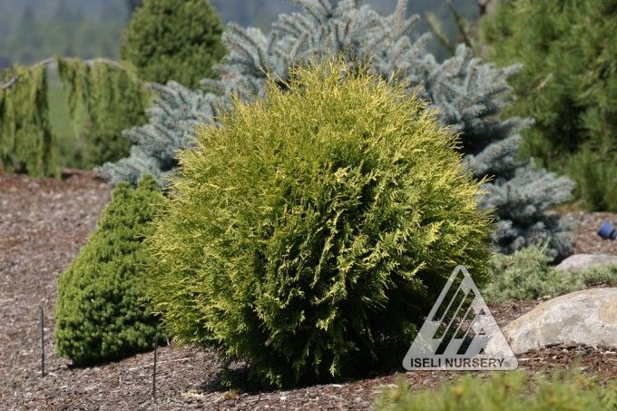 17 Best Images About Plante Vesnic Verzi On Pinterest