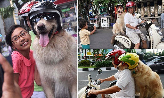 Ruff riders: Helmet-wearing dogs ride motorised scooter with owner