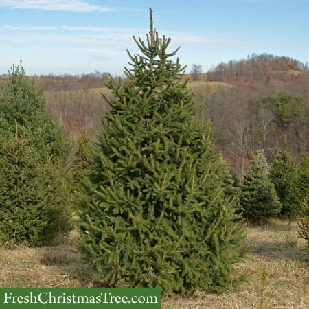 46 Best Plants Evergreens Shrubs And Trees Images On