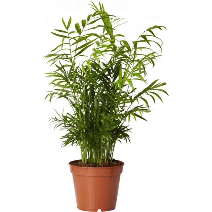 Liten, elegant og frodig palme med kort stamme og mange skudd. Renser luften. Trives på lyse og delvis skyggete steder, uten direkte sol. Vannes når jorden fortsatt er lett fuktig. ...