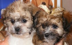 Teddy Bear Puppies for Sale Tennessee