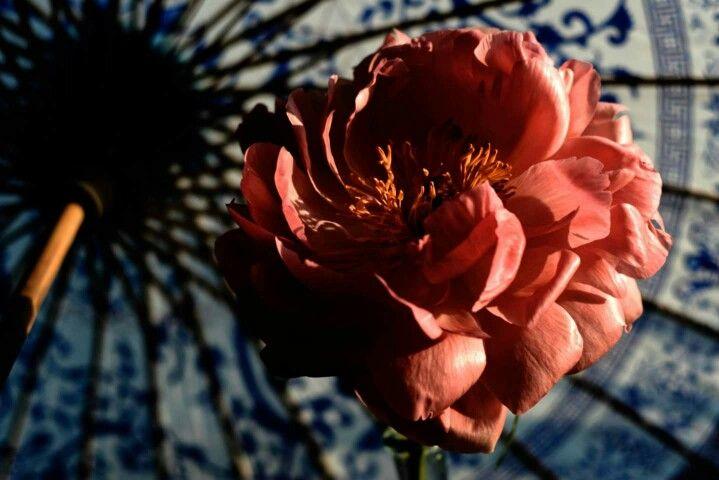 #peony #folwer #spring #springflower #umbrella #sun