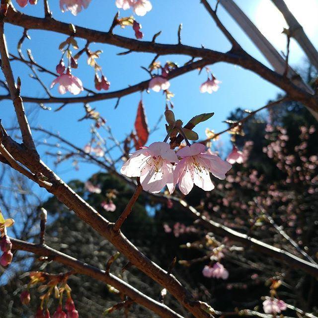 【nanaseruw】さんのInstagramをピンしています。 《〘熱海市攻略戦DAYS35 LIVE〙サミットの環境が酷かったので離脱。散歩開始。千歳川下流から登っていくと早咲きの小室桜が少しだけ花をつけているよ。可愛い(*´Δ`*) #japan #journey #atami #yugawara #tour #travel #adventure #stroll #mountain #park #blossom #散歩 #熱海 #散策 #登山 #湯河原 #公園 #桜》
