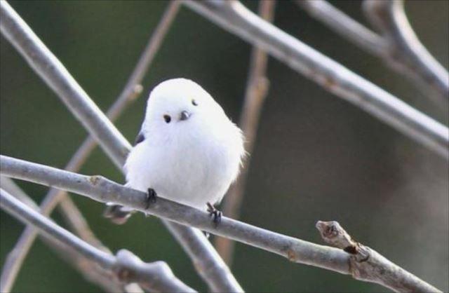 """出典:featuredcreature その可愛いらしさから、""""雪の妖精""""と呼ばれる鳥がいるのはご存知ですか…? 雪の妖精『シマエナガ』とは…? 出典:pinterest こちらは、スズメ目エナガ科の"""