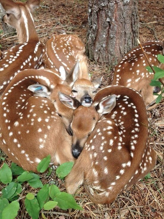 "Amazing group of deer fawns sleeping in a group so closely that their spots seem to merge with each other. -DdO:) - http://www.pinterest.com/DianaDeeOsborne/animals-of-a-different/ - Peaceful woods baby animal family portrait. CREDIT: Photo uploaded by ""Lauren""."