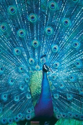 Peacock. What a specimen!
