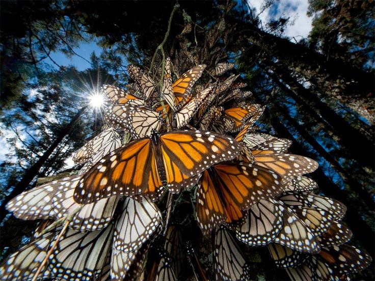 Millions of monarch butterflies travel to ancestral winter roosts in Mexico's shrinking mountain fir forests. Surfing winds from southern Canada and the northern U.S., they travel thousands of miles, taking directional cues from the sun.