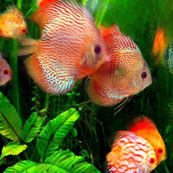 54 best images about discus fish on pinterest moving for Discus fish types