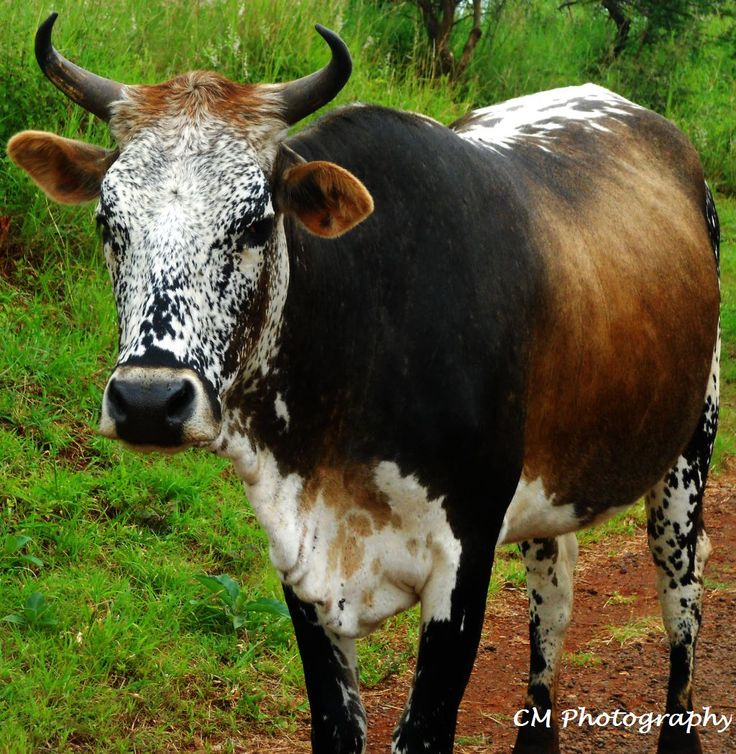 Nguni Cow with amazing facial coloring
