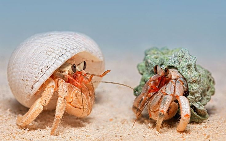 Two land hermit crabs from Biak Island, Papua, Indonesia  Picture: Igor Siwanowicz / Barcroft Media