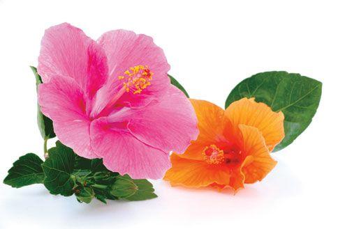 Havaijin hibiscus