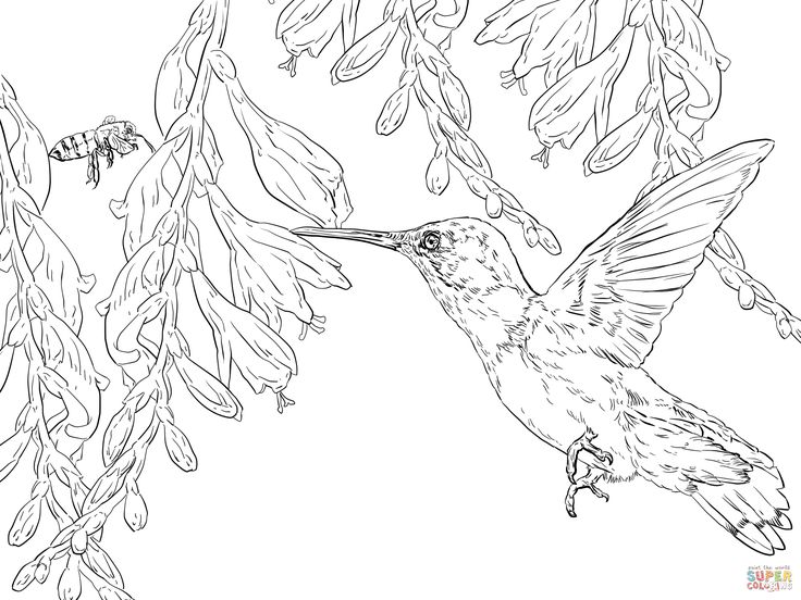 Ruby Throated Hummingbird Coloring Pages | Coloring Pages