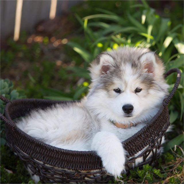 Mocha In The Morning In A Basket Huskies On Instagram Cute