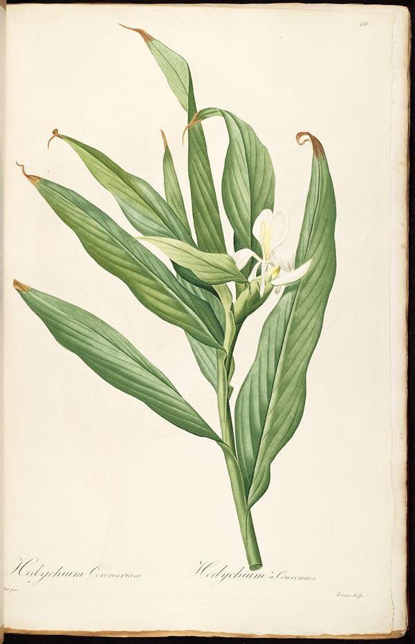 Les liliacees /par P.J. Redoute. #botanical #illustration