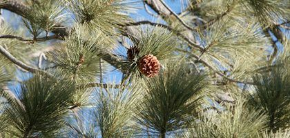 Plantas que se benefician del mantillo de agujas de pino | eHow en Español
