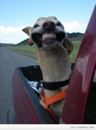 I´m happy: Trucks, Funny Dogs, Cars Riding, Funny Stuff, Dental Care, Happy Dogs, Chee, Animal, Make Me Smile