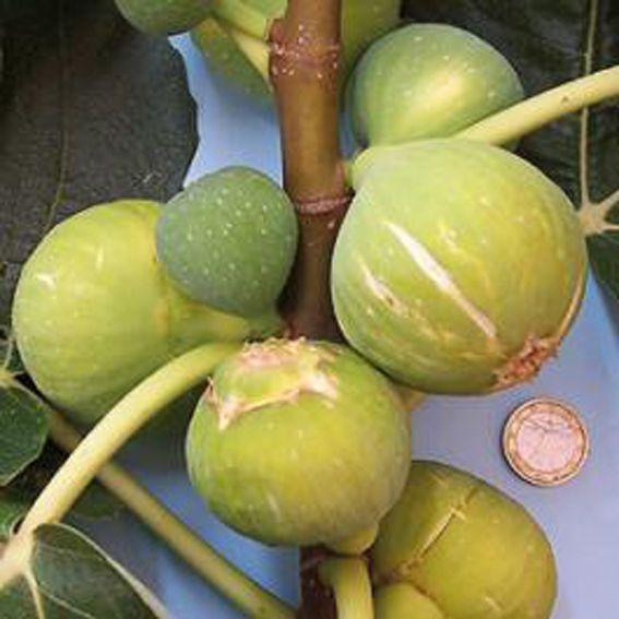 Feigenbaum - Ficus carica *Dotato* weiße Frucht -18°C - Pflanze 150-180cm