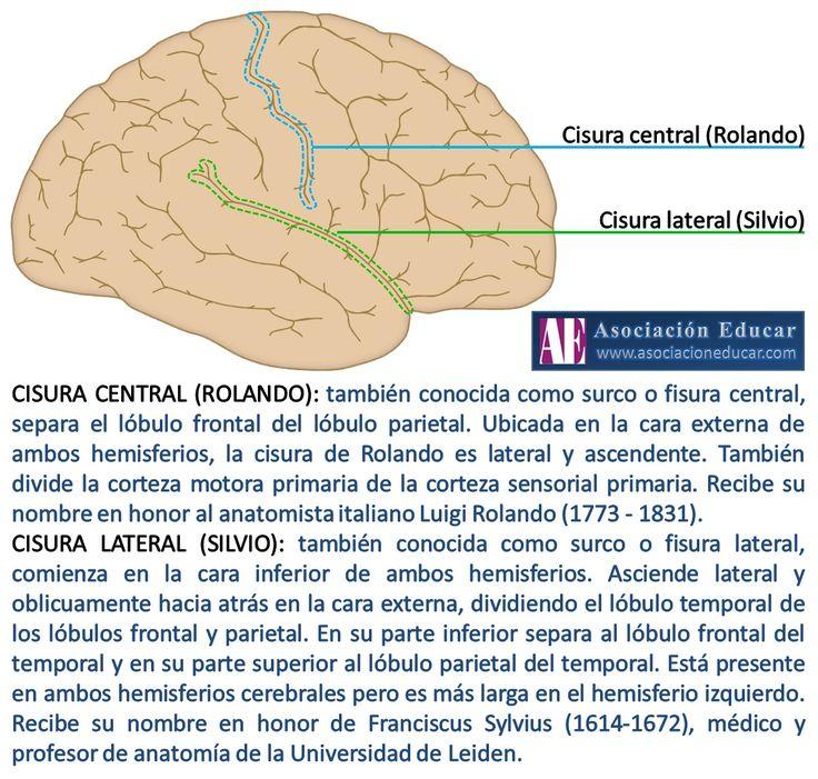 Ilustración de uso libre, sólo se pide citar la fuente (Asociación Educar). CISURA CENTRAL (ROLANDO): también conocida como surco o fisura central, separa el lóbulo frontal del lóbulo parietal. Ubicada en la cara externa de ambos hemisferios, la cisura de Rolando es lateral y ascendente. También divide la corteza motora primaria de la corteza sensorial primaria. Recibe su nombre en honor al anatomista italiano Luigi Rolando (1773 - 1831).